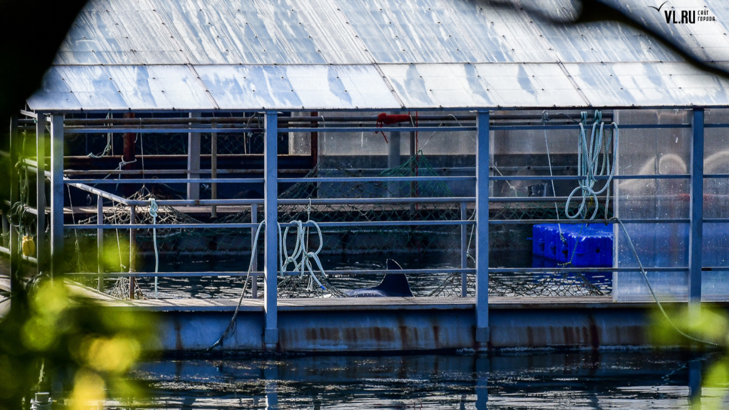 Russian reporters discover 101 'tortured' whales jammed in offshore pens