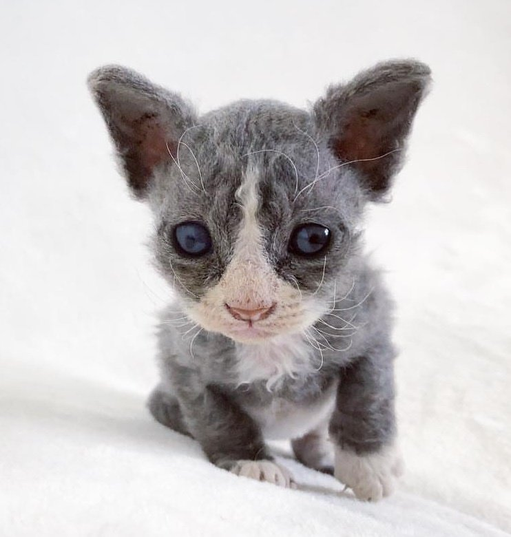 Rescued Kitten With Face Like Plush Toy Won T Leave Woman After She