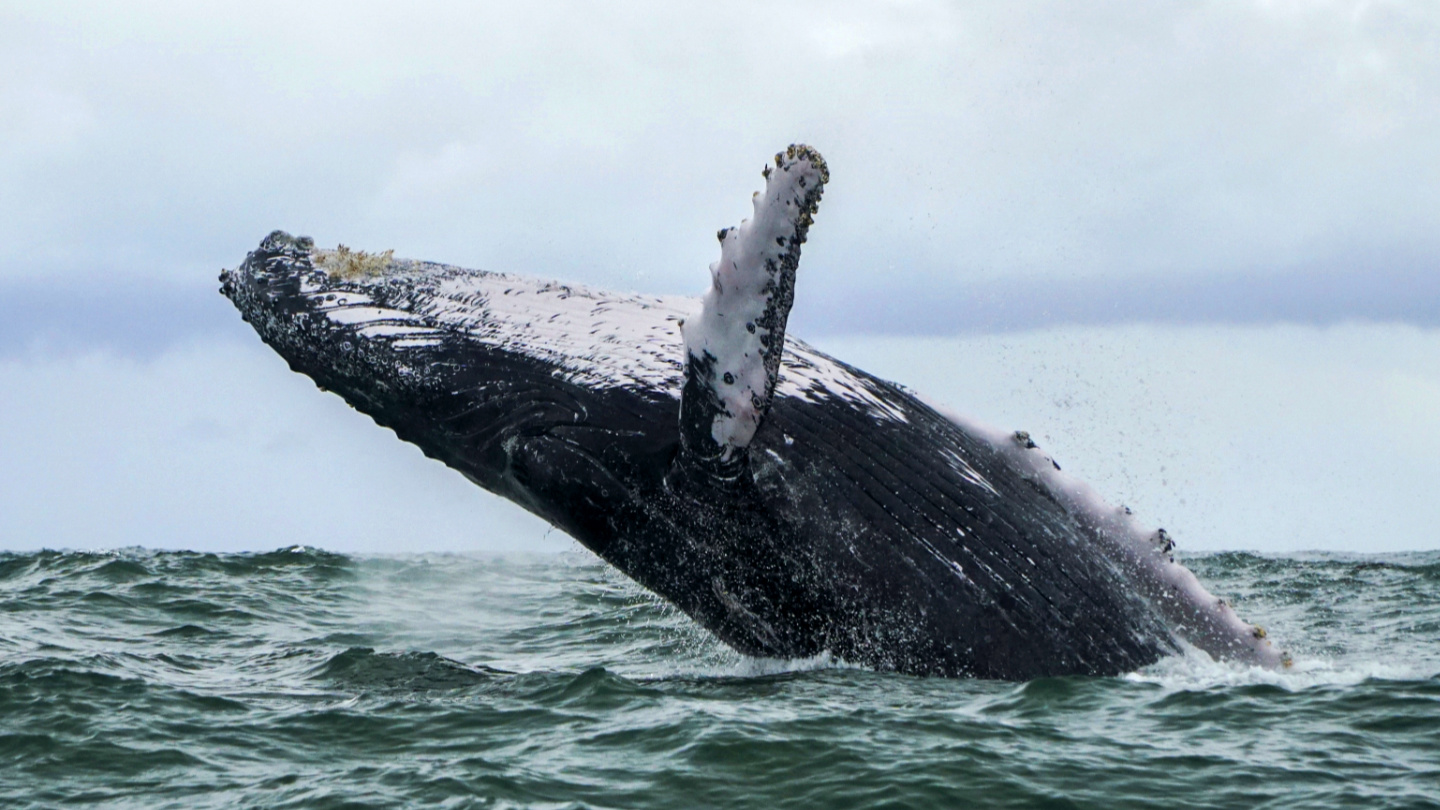 Whale earwax reveals 146 years of humanity's impact