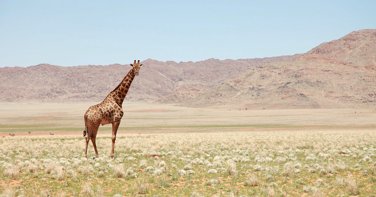 photo image Green Groups Sue to Get Giraffes on Endangered Species List