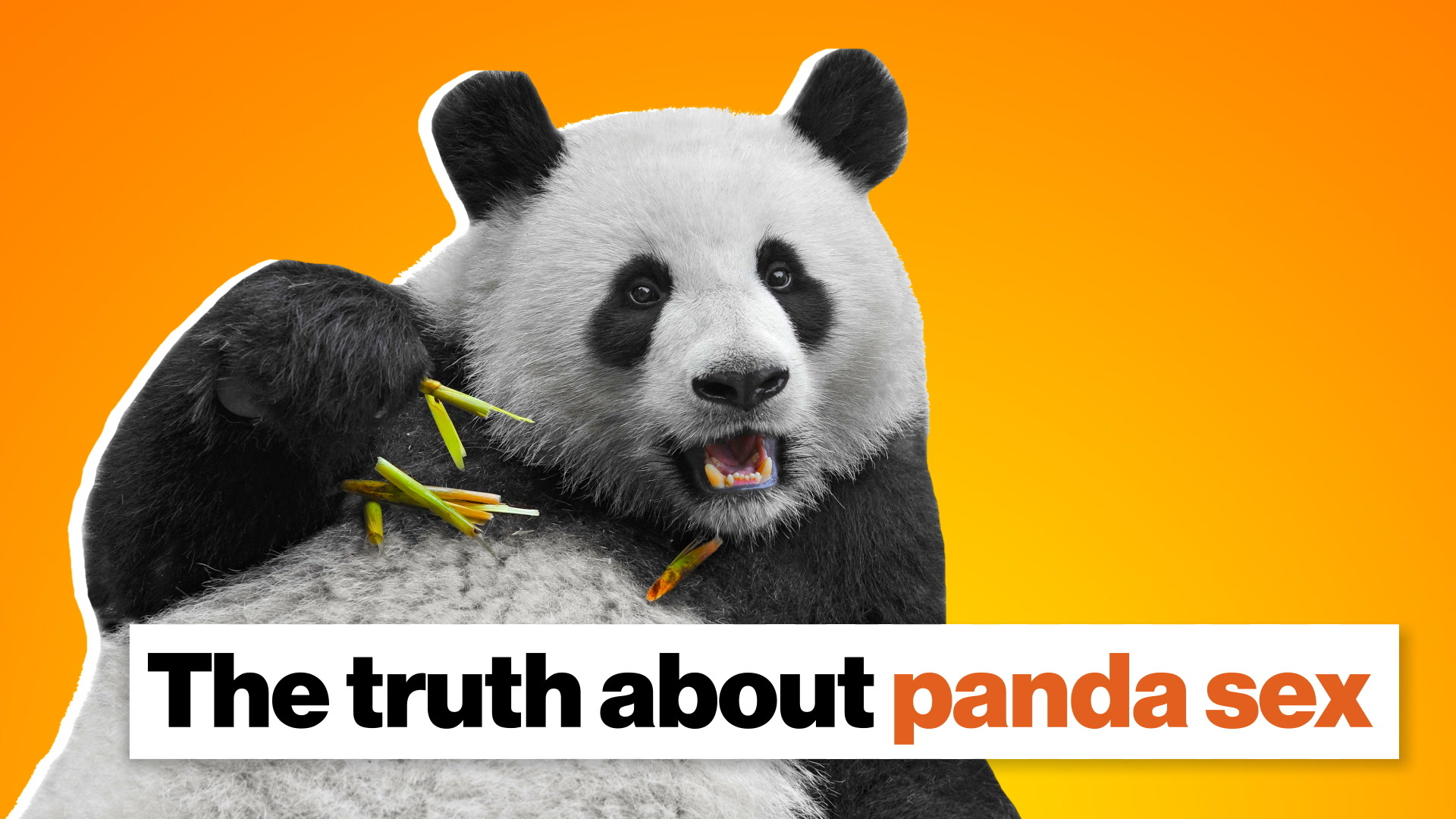 The truth about panda sex