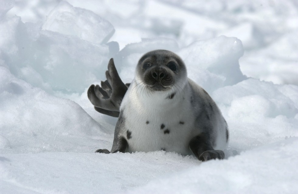 7 Reasons Why Canadas Brutal Seal Hunt Needs To End Now-5230