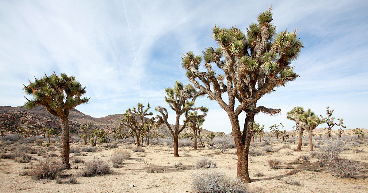 photo image Joshua Tree Closes Temporarily to Repair Damage Caused During Shutdown