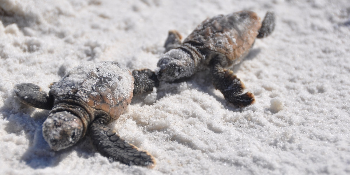 A Record 589 Sea Turtles Killed By Florida s Toxic Red Tide