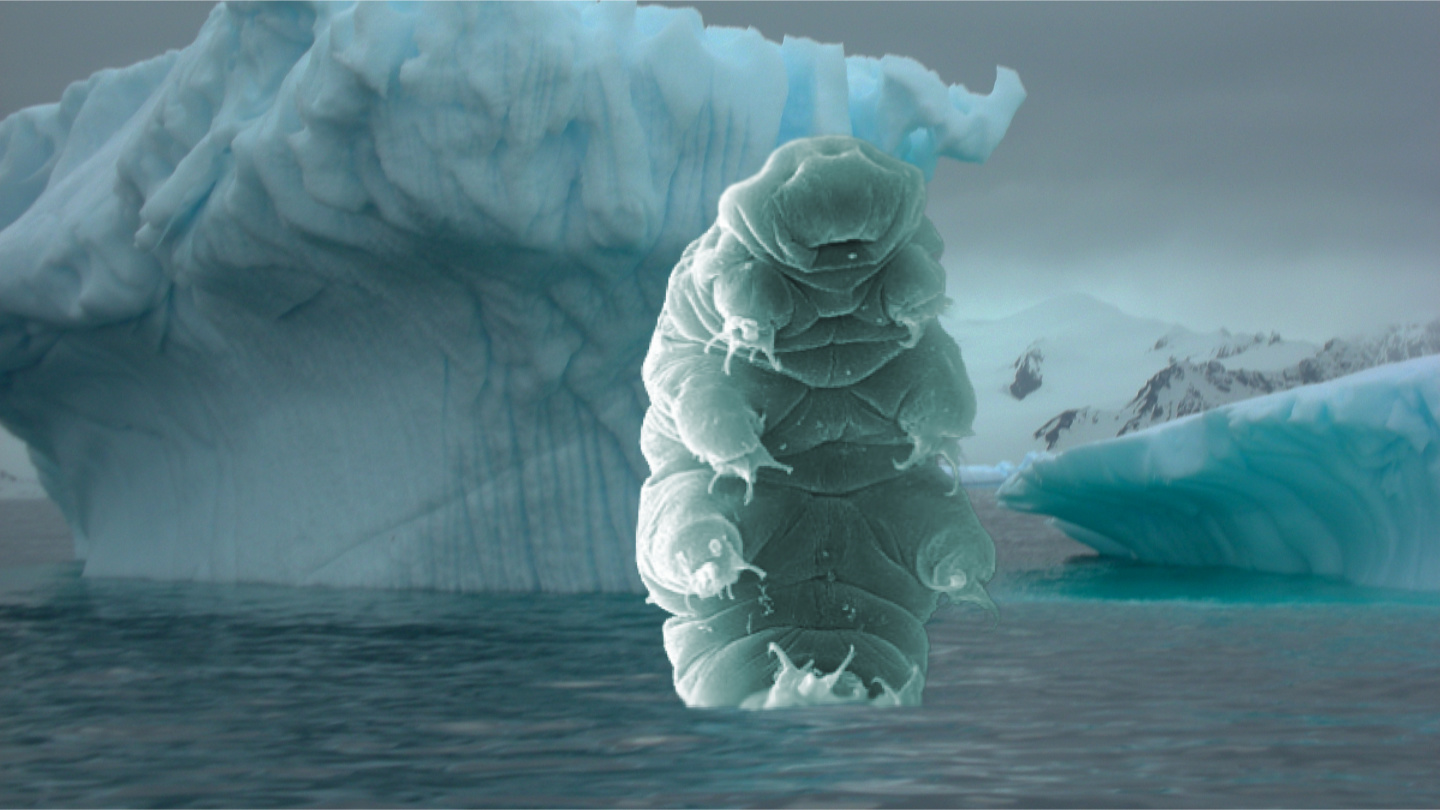 Dead – yes, dead – tardigrade found beneath Antarctica