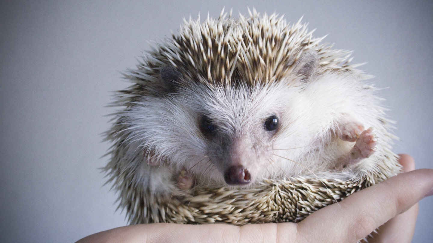 Quit kissing adorable hedgehogs, says the CDC