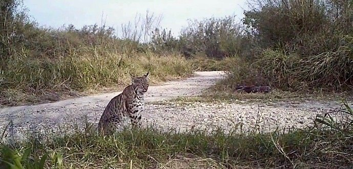 Heartbreaking Butterfly Center Video Shows Bobcat At Risk From Border Wall