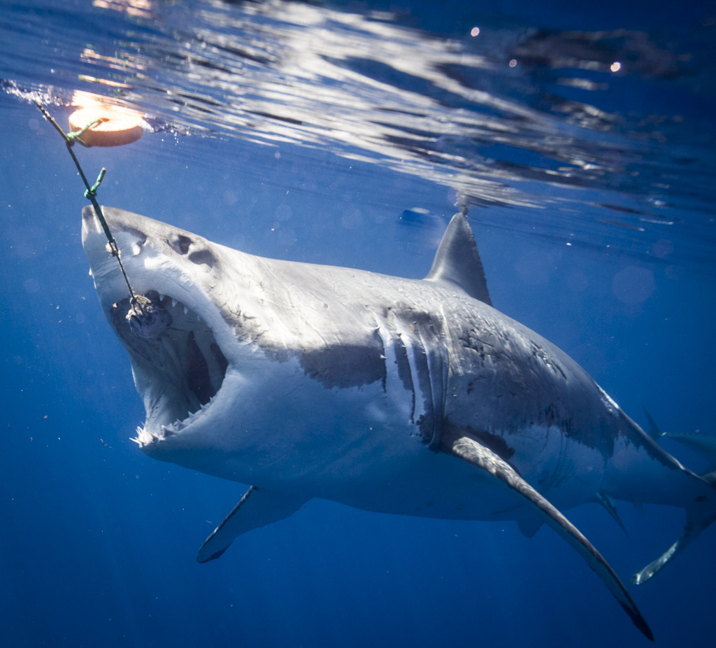 Scientists map great white shark genome, revealing clues about cancer and healing wounds