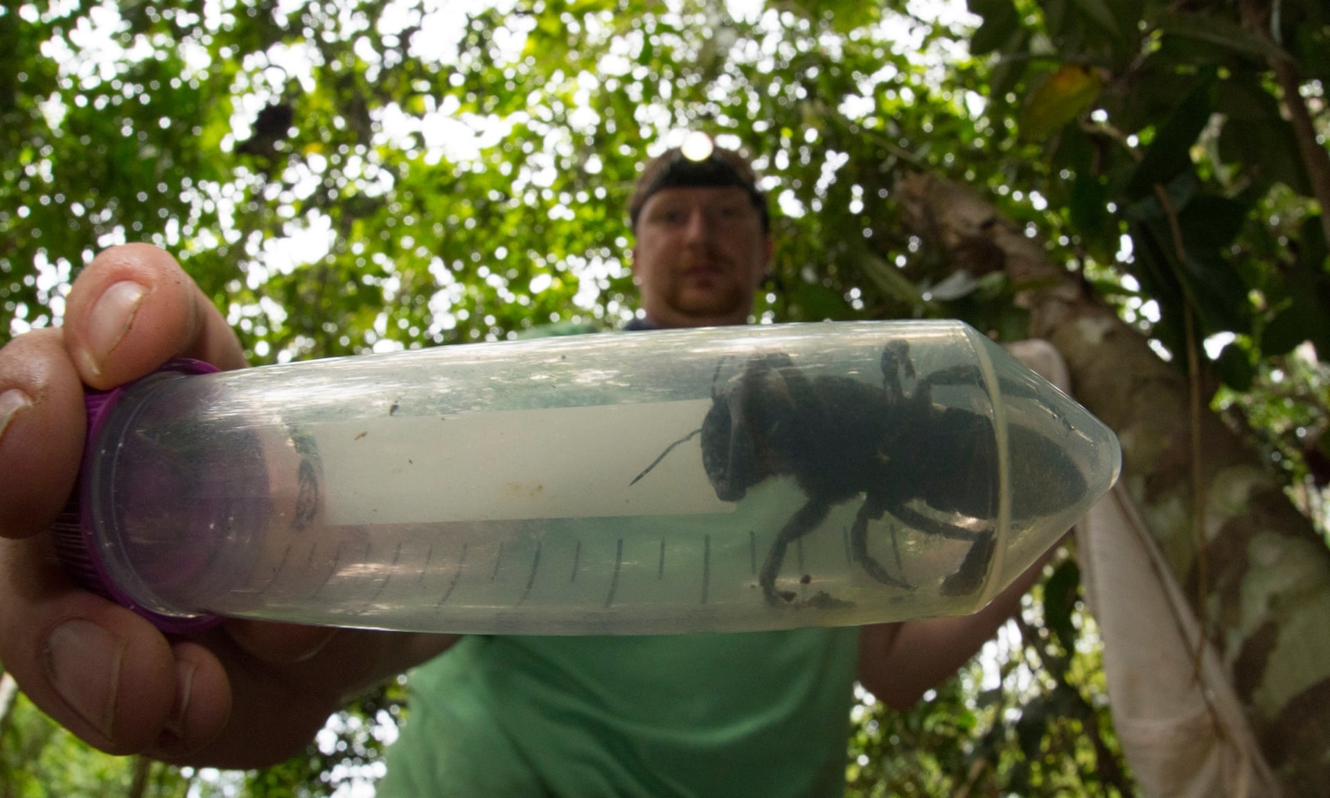 World's largest bee, thought to be extinct, found in Indonesia