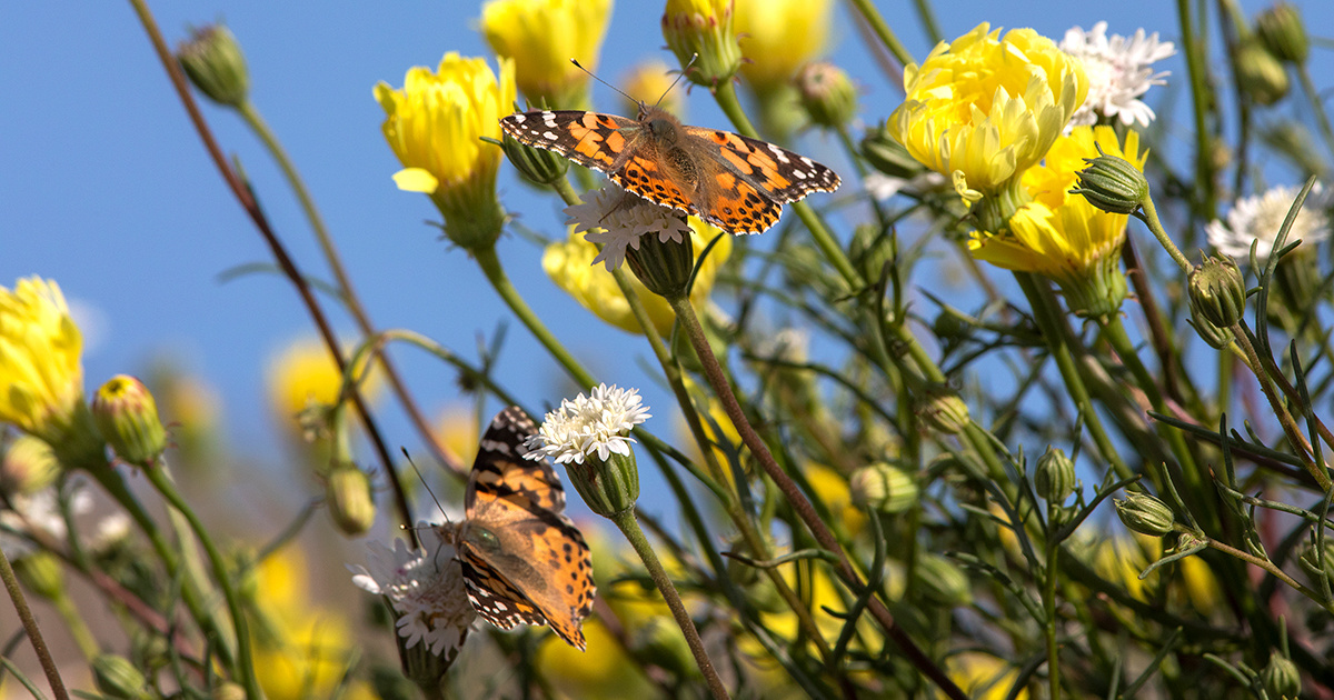 photo image 'Absolutely Magical': Southern California Sees Largest Painted Lady Migration Since 2005