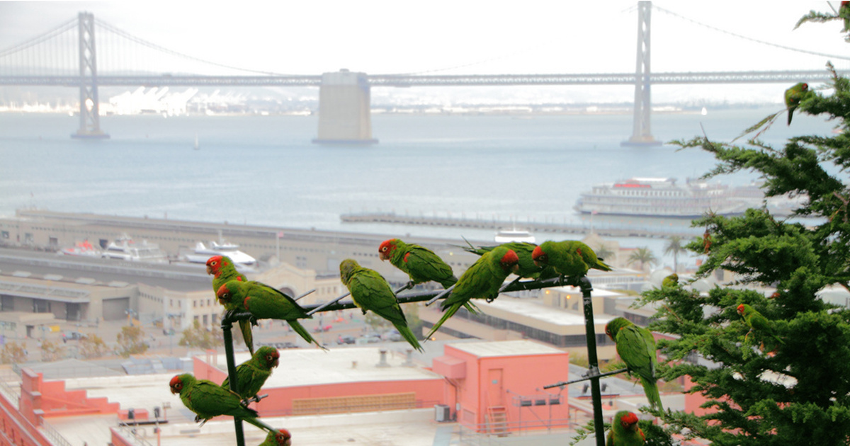 Rat Poison Linked to Several Deaths of San Francisco's Iconic Parrots