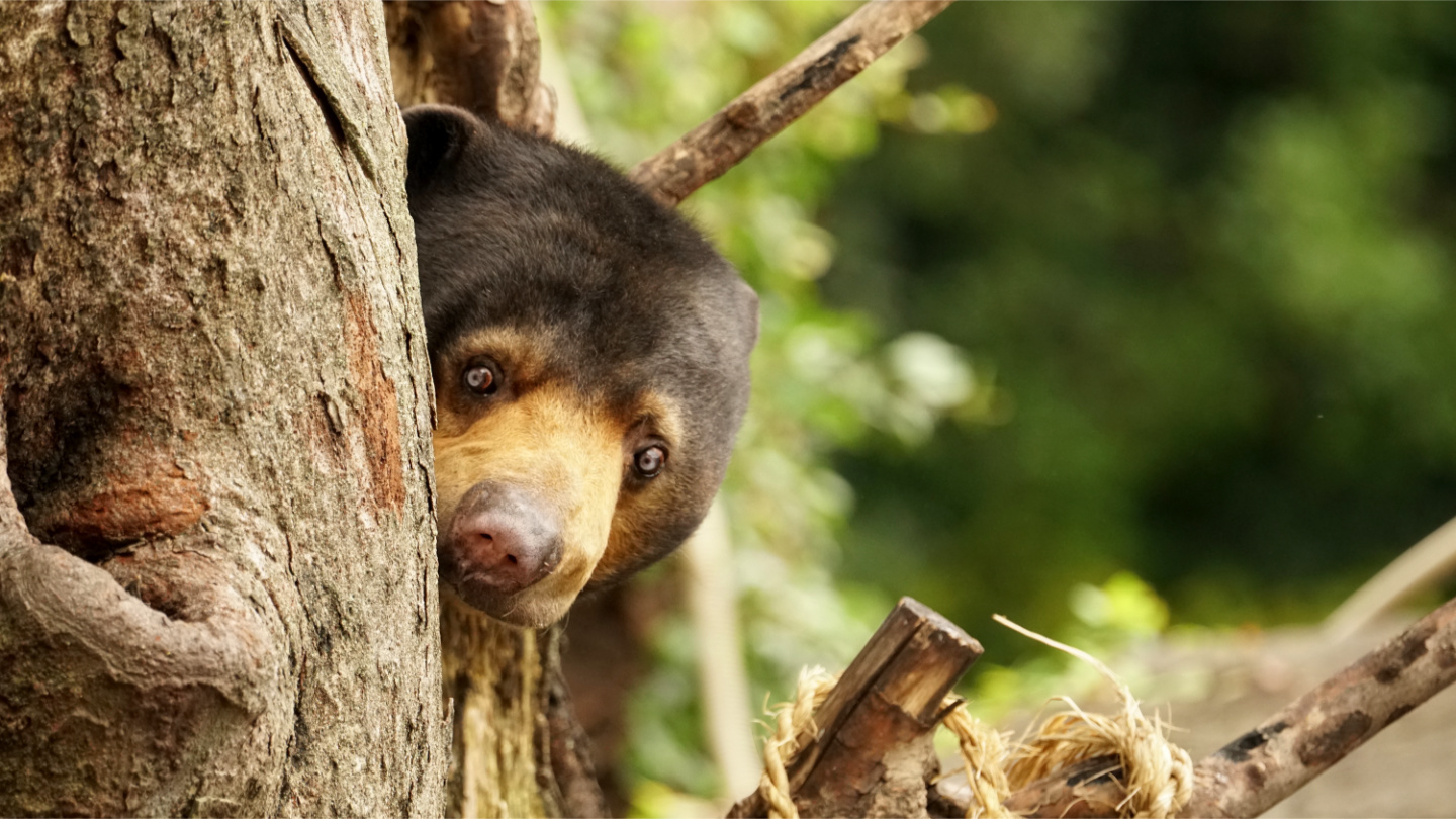 New study: Like humans, world s smallest bears can mimic faces too