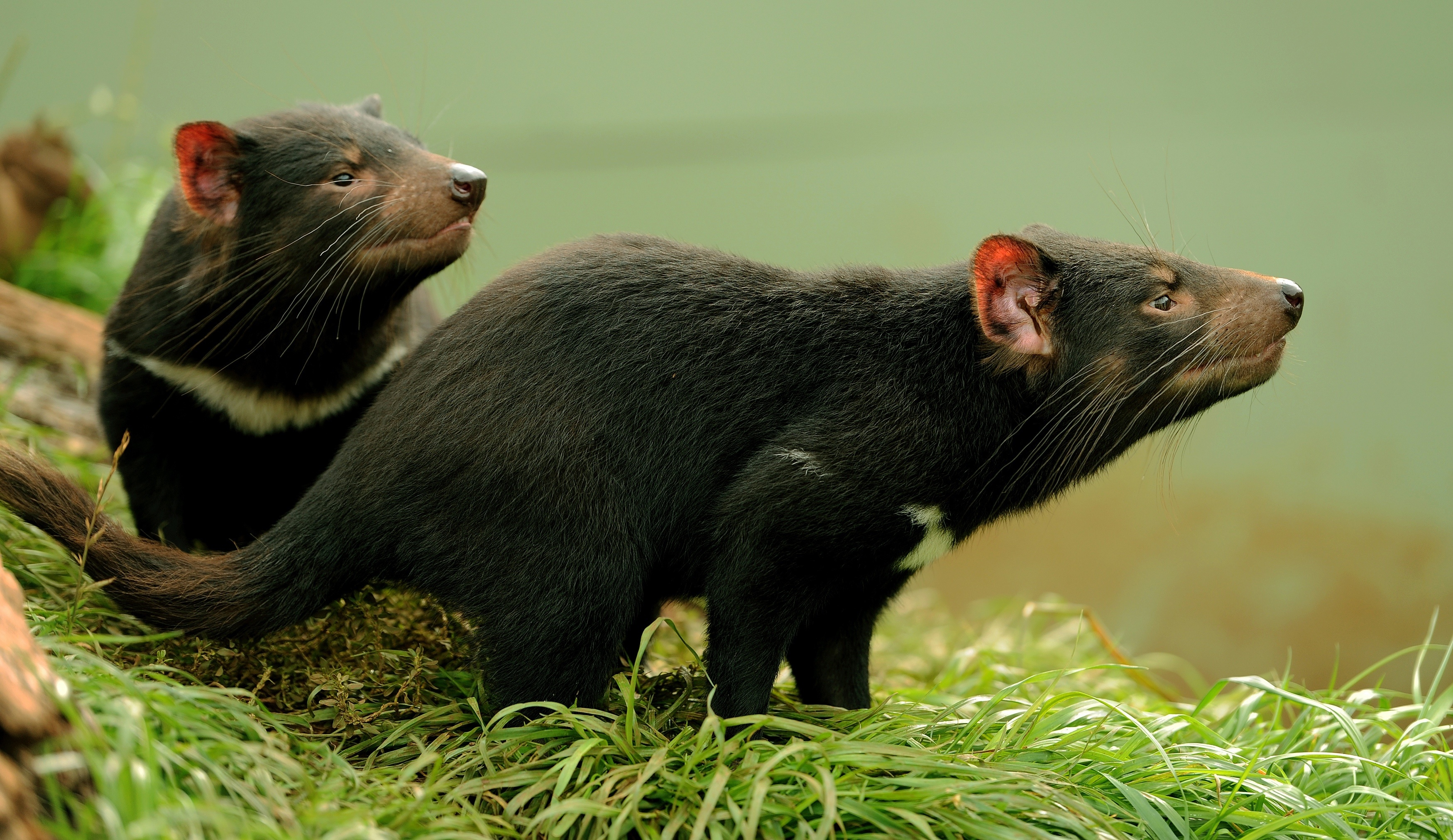 How Tasmanian devils are evolving to fight back against extinction