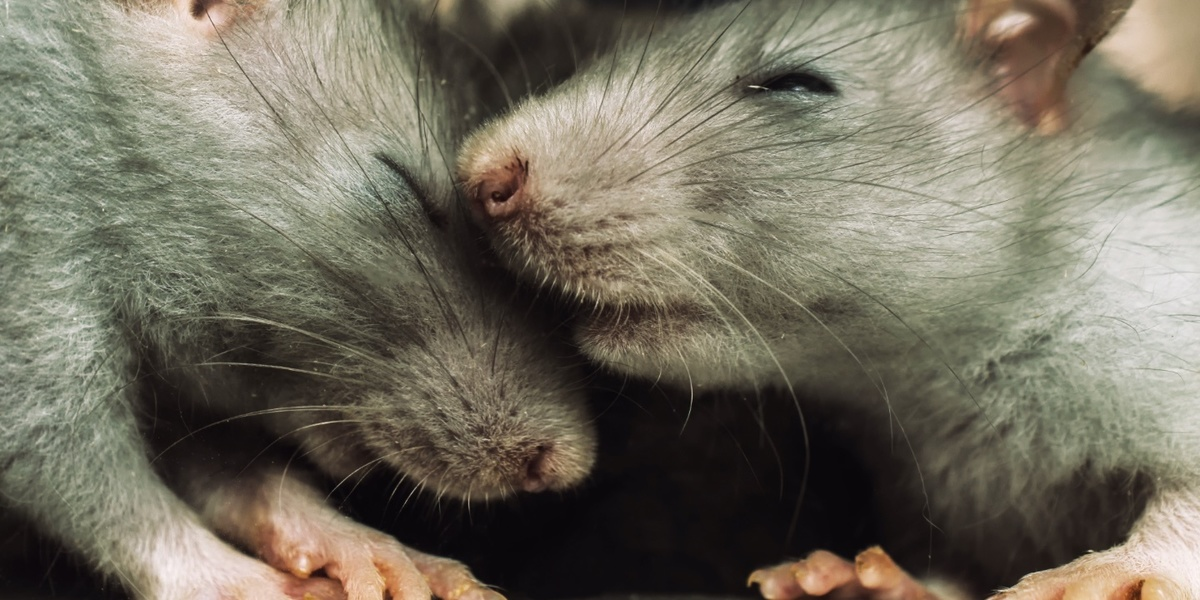 Rats 'feel the distress' of other rats, Dutch neuroscientists say