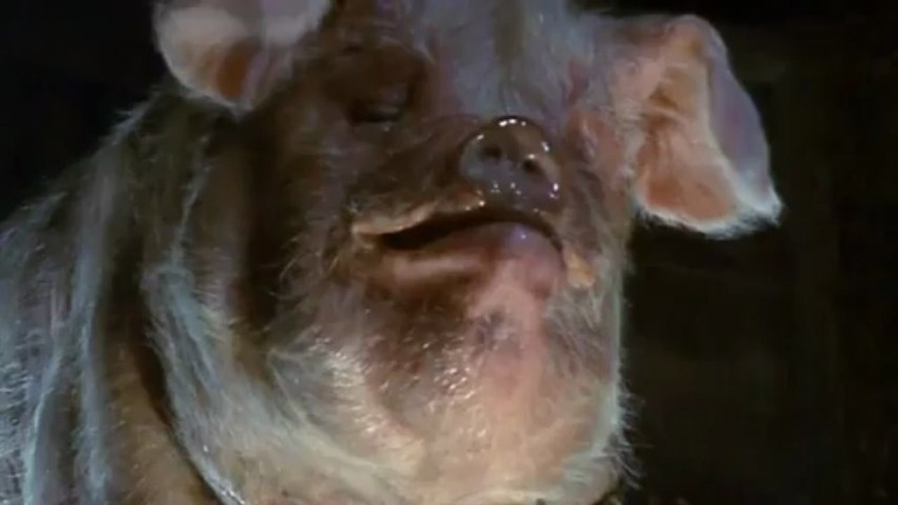 Yale scientists restore brain function to 32 clinically dead pigs