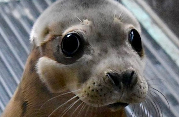 Watch This Adorable Seal Return to the Sea After 5 Months of Rehab