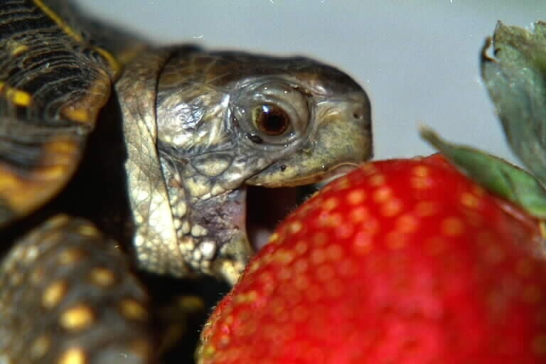 baby tortoise eating raspberry