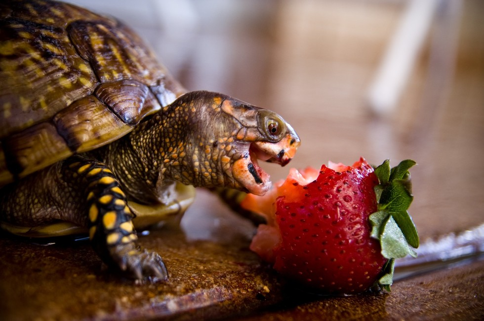 Happy world turtle day here are some photos of turtles eating strawberries - Cute turtle pics ...