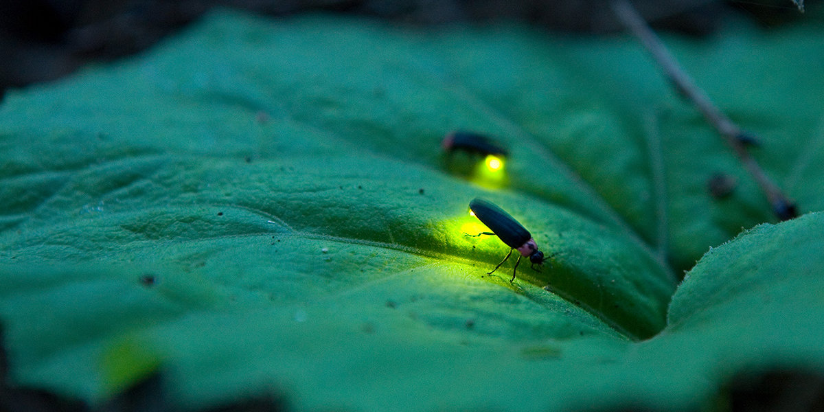 Fireflies' Glow Could Soon Be Extinguished by Human Actions