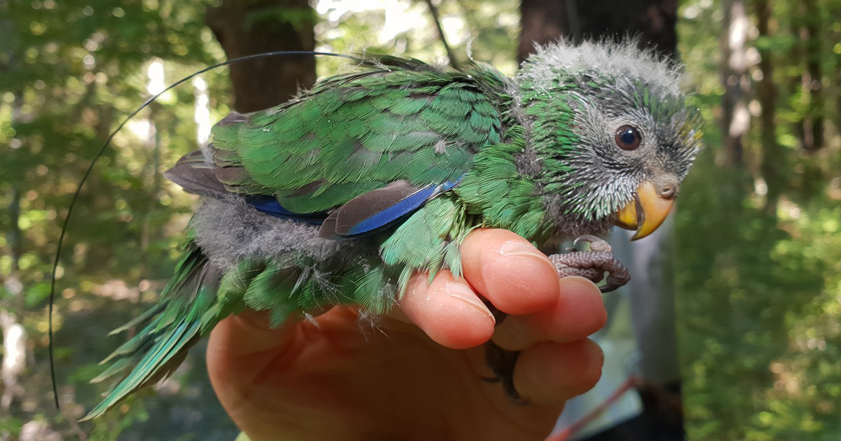 New Zealand's Rarest Mainland Forest Bird Is Having an 'Epic' Breeding