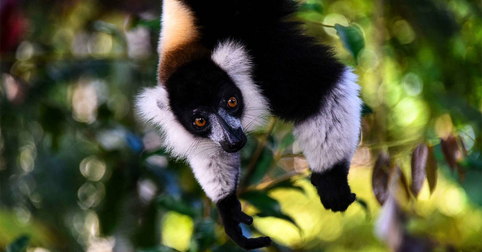 Who Eats Lemurs — and Why?