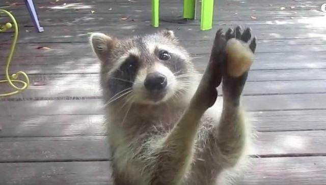 Genius Raccoon Knows Exactly How To Drive People Crazy