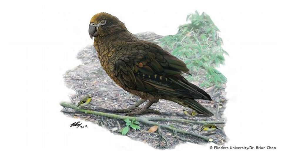 Giant, Possibly Carnivorous Parrot Discovered in New Zealand