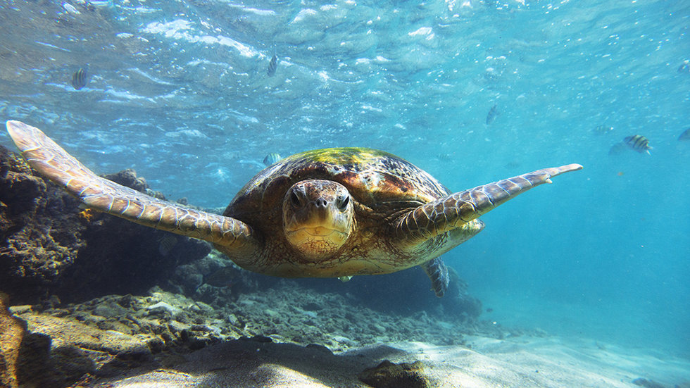Green Turtles Are Mistaking Plastic for the Sea Grass They Normally Eat