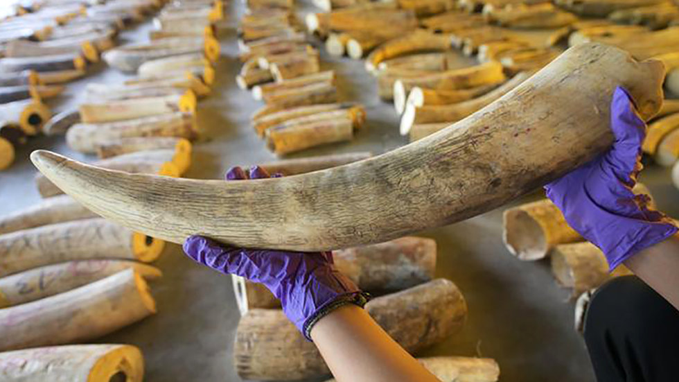 Wildlife Conference Mulls Loosening Restrictions on Ivory Trade