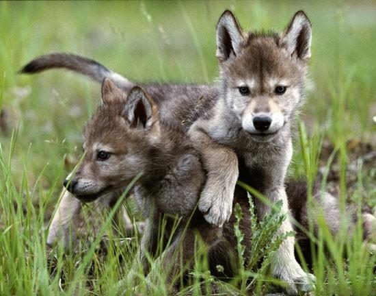 wolf kissing its cub - photo #35
