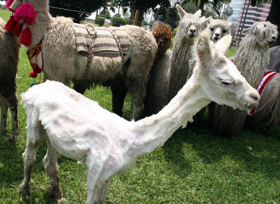 Here Are 12 Shaved Alpacas That Will Change The Way You Look At ...