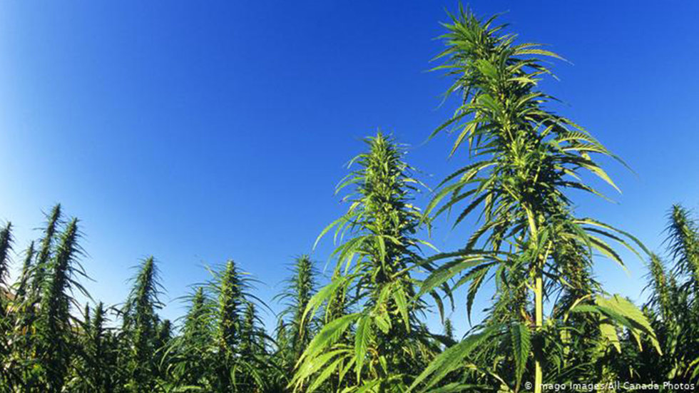 Is Hemp Really a Green Miracle Plant?