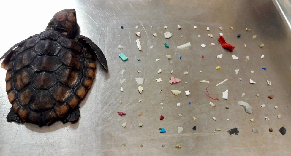 Dead Baby Turtle Found With 104 Pieces of Plastic in Stomach