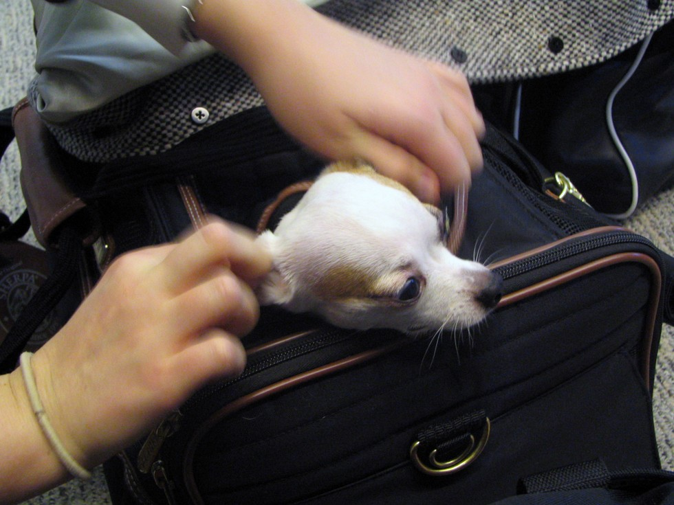 These major airlines let your pet travel with you for Airlines that allow dogs in cabin