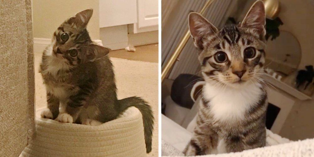 Kitten Walks Up to Woman Asking to Be Adopted — She Discovers His Chirpy Meows, Unbridled Energy