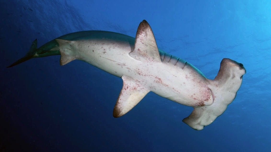 The Surprise Middleman in the Illegal Shark Fin Trade: The U.S.