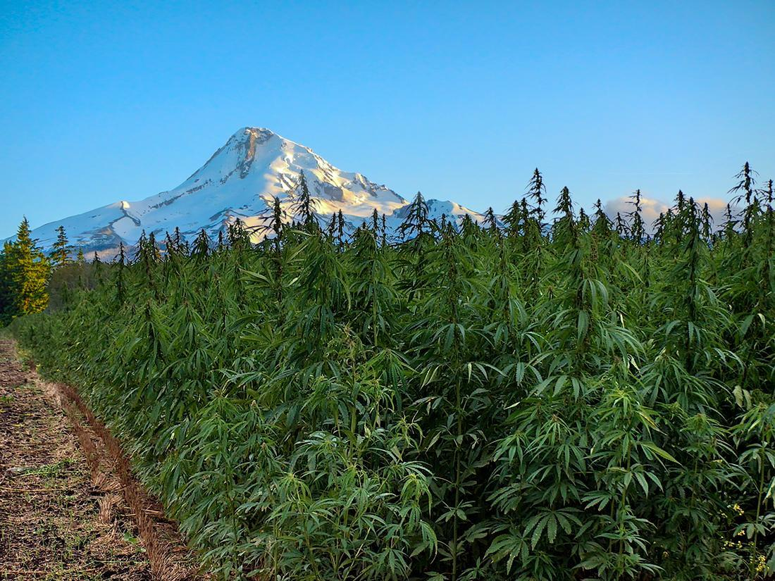 5 Organic Marijuana Growers In Oregon You Should Know
