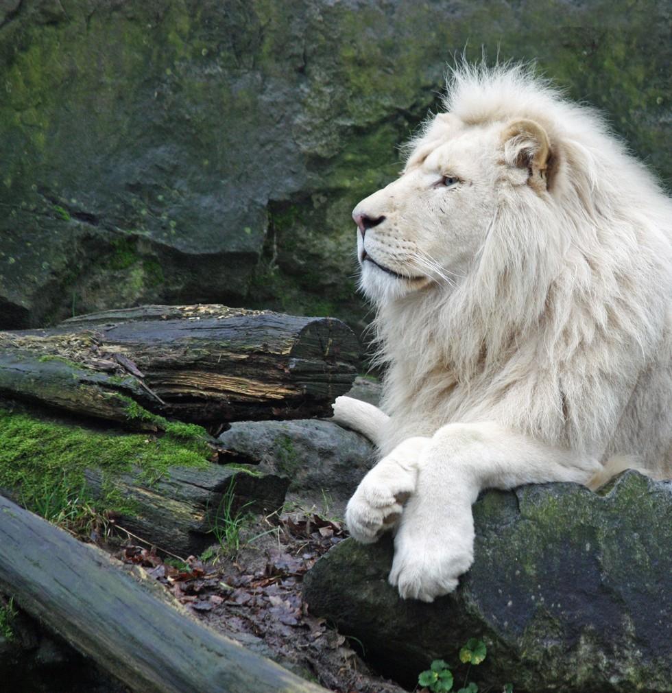 Pure White Lion