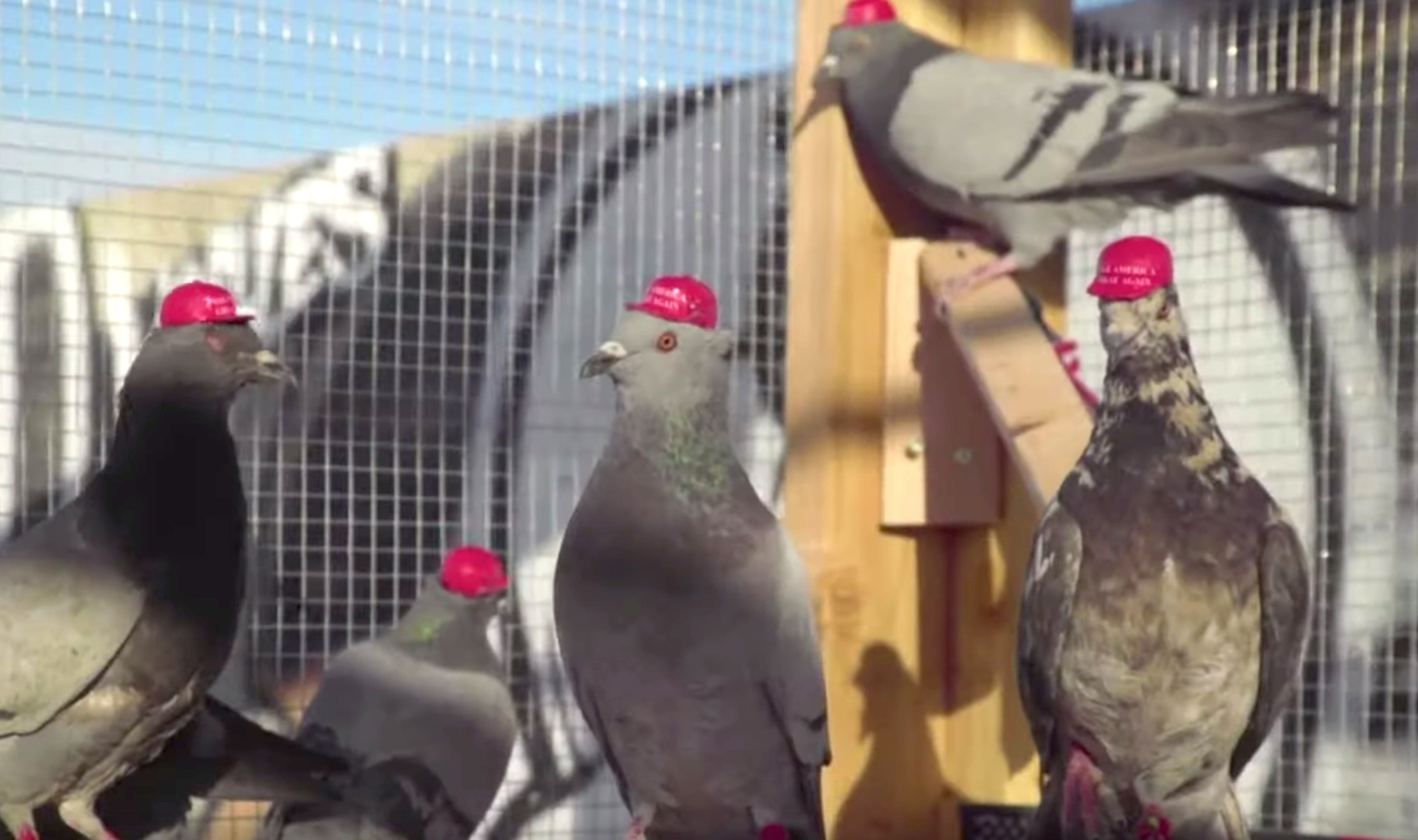 'Radical' group releases pigeons with MAGA hats glued on their heads for President Trump's visit to Nevada