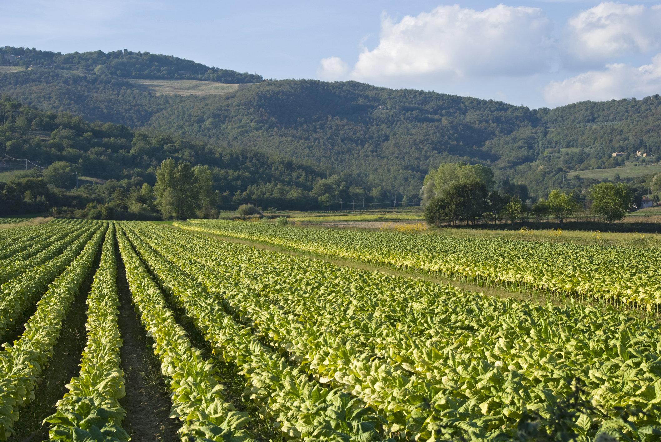 British American Tobacco investe sul tabacco italiano
