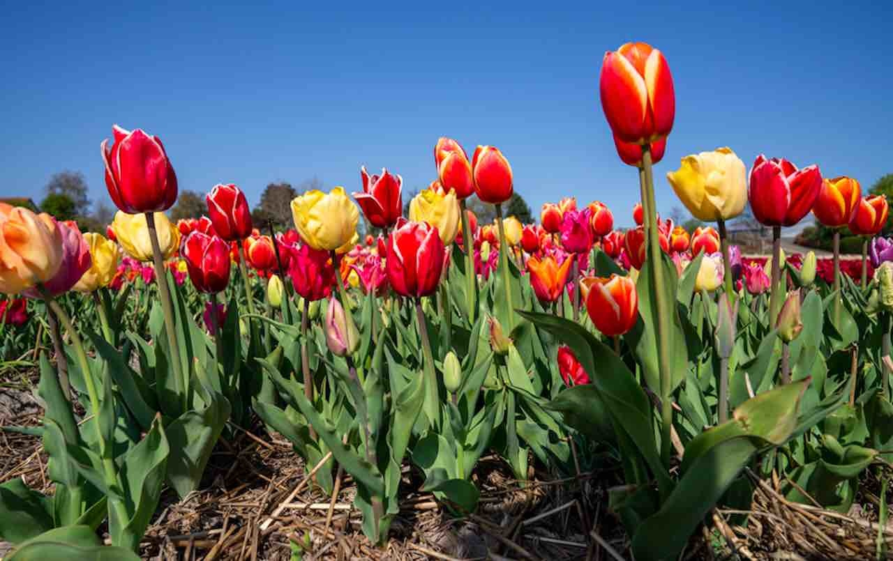 New Jersey Just Ordered A Tulip Farm To Cease Drive Thru Tours