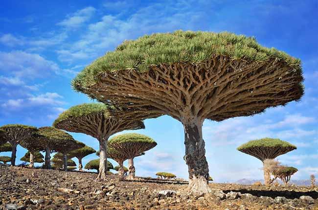 4 Dragonblood Trees In Socotra Yemen