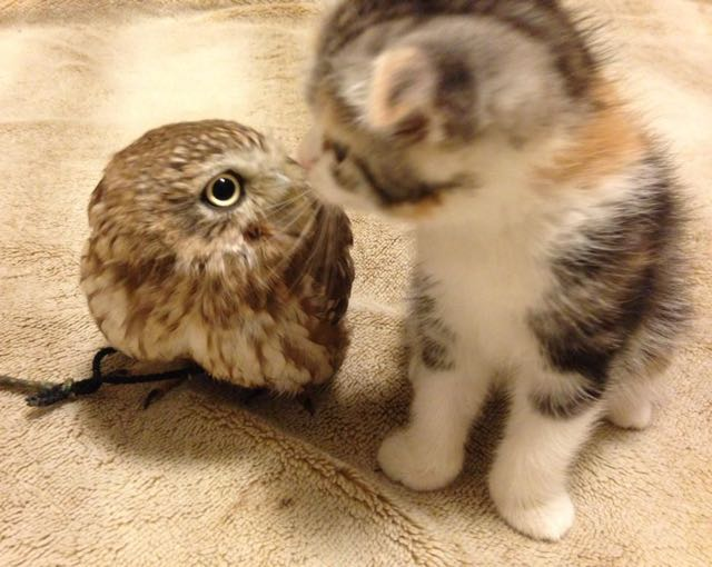This Kitten And Owlet Have Become Best Friends Higher Perspective - Owlet kitten meet coffee shop become best friends