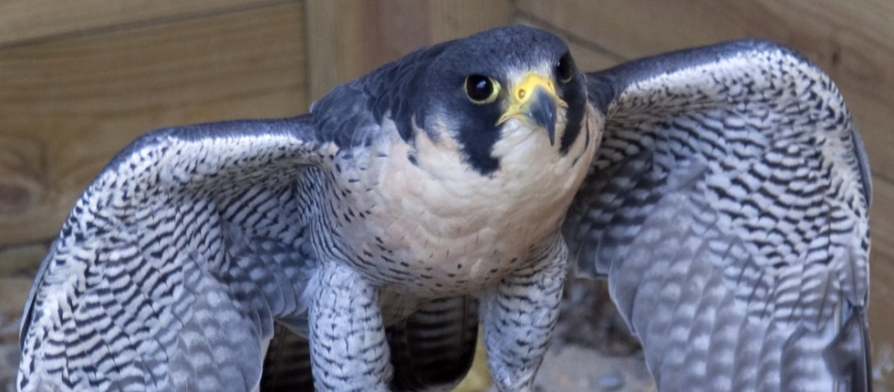 the peregrine falcon is an endangered species both in canada and the united states New jersey's endangered species, the peregrine falcon  comments or  questions to mariadubois@depstatenjus  amazing to see the enthusiasm  and eagerness of both students and colleagues to learn  synopsis: a young  girl discovers a group of baby canadian geese and becomes their caretaker.