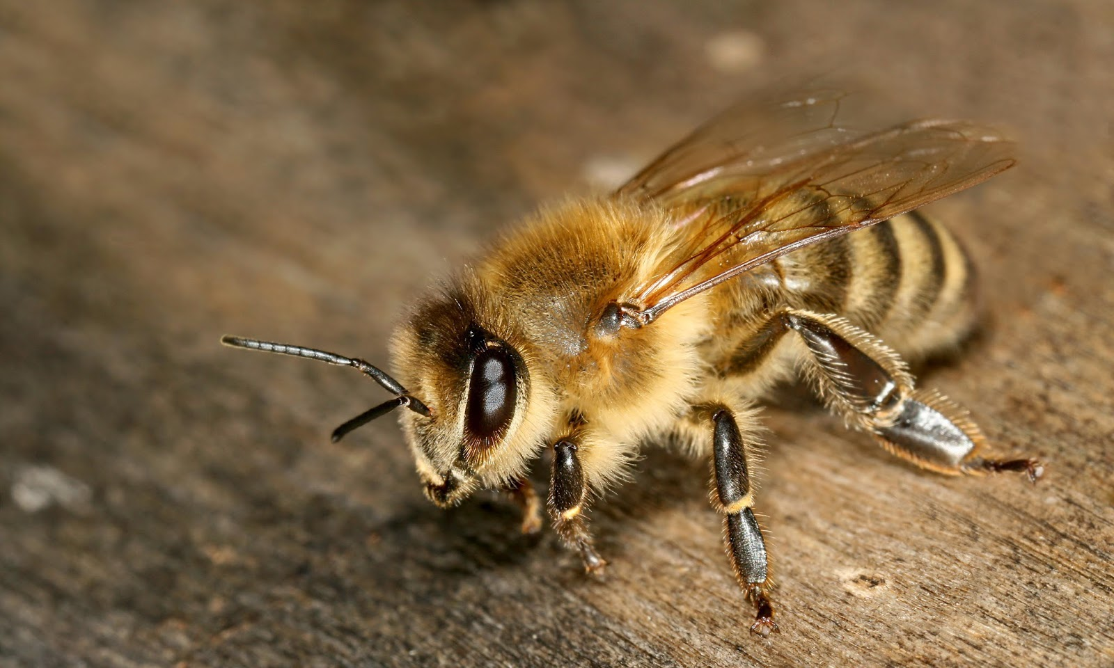 Giant Himalayan Bees Produce A Psychedelic Honey That Gets You High