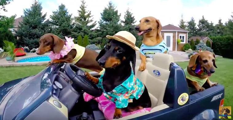 Crusoe Dachshund Singing the Song of His People - YouTube