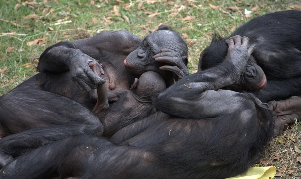 Bonobo Monkey Research Humans And Bonobo Monkeys