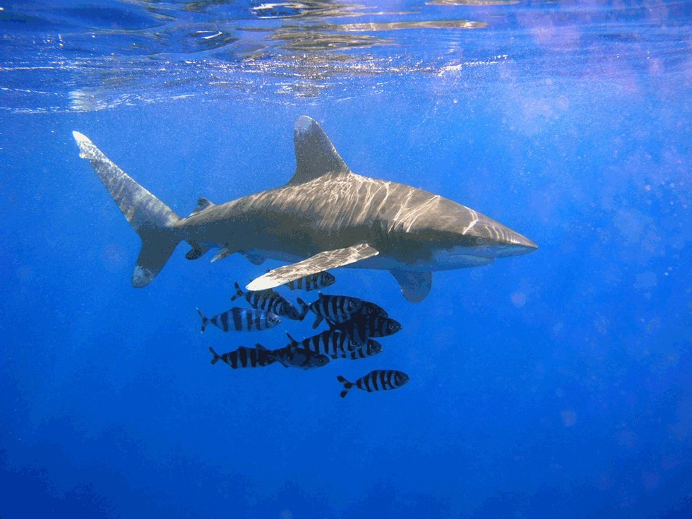 How one genius little fish convinces sharks not to eat them for Are sharks fish