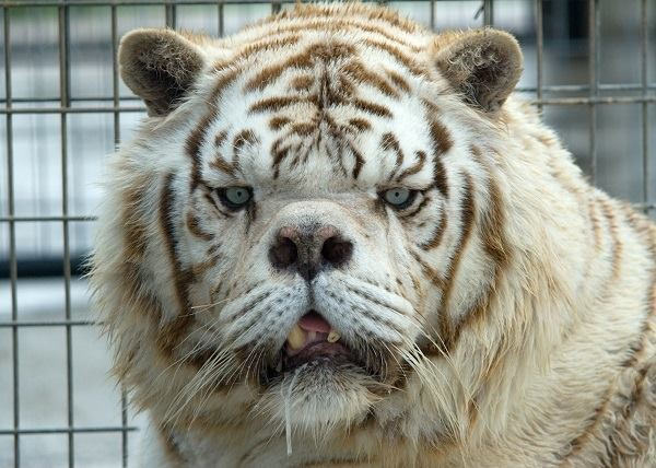 an analysis of white tigers The genetic analysis led them but the last known free-ranging white tiger was shot in 1958 that many white tigers were hunted as mature adults suggests that they.