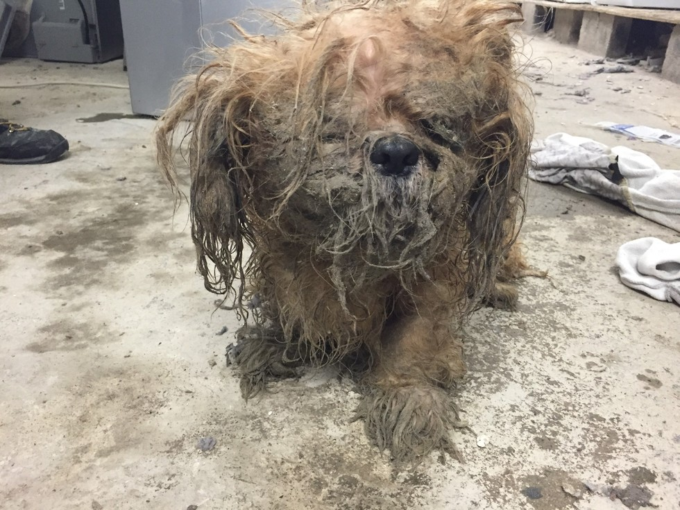 Dog S Fur Was So Matted He Couldn T Even See Who Abandoned Him
